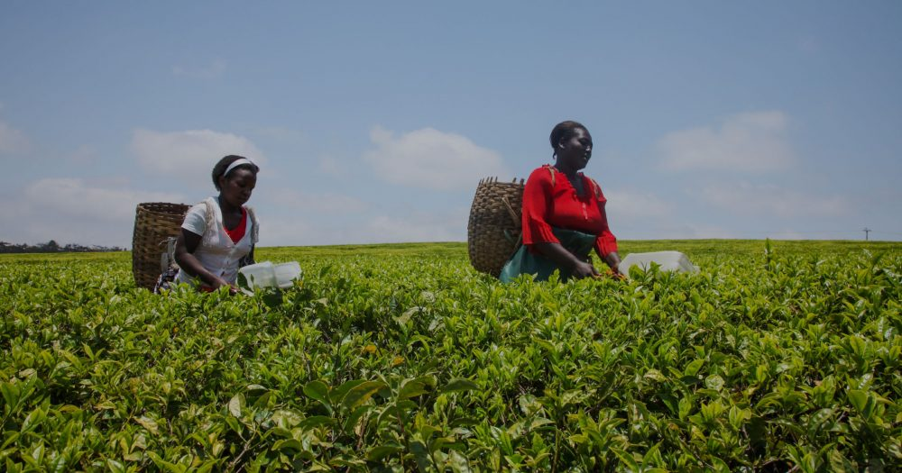 Two women pick tea in a field