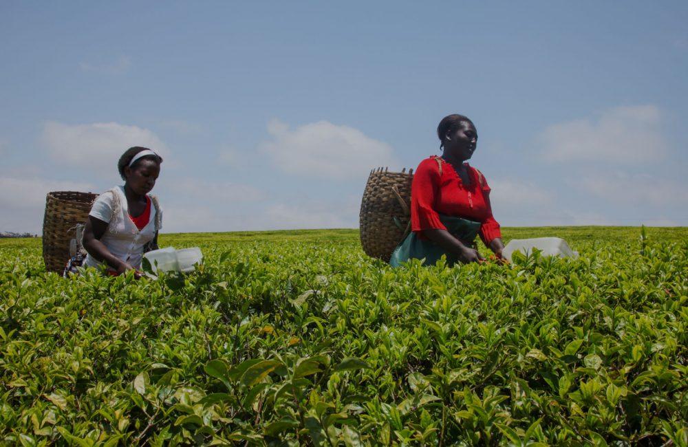 Two women pick tea in a field