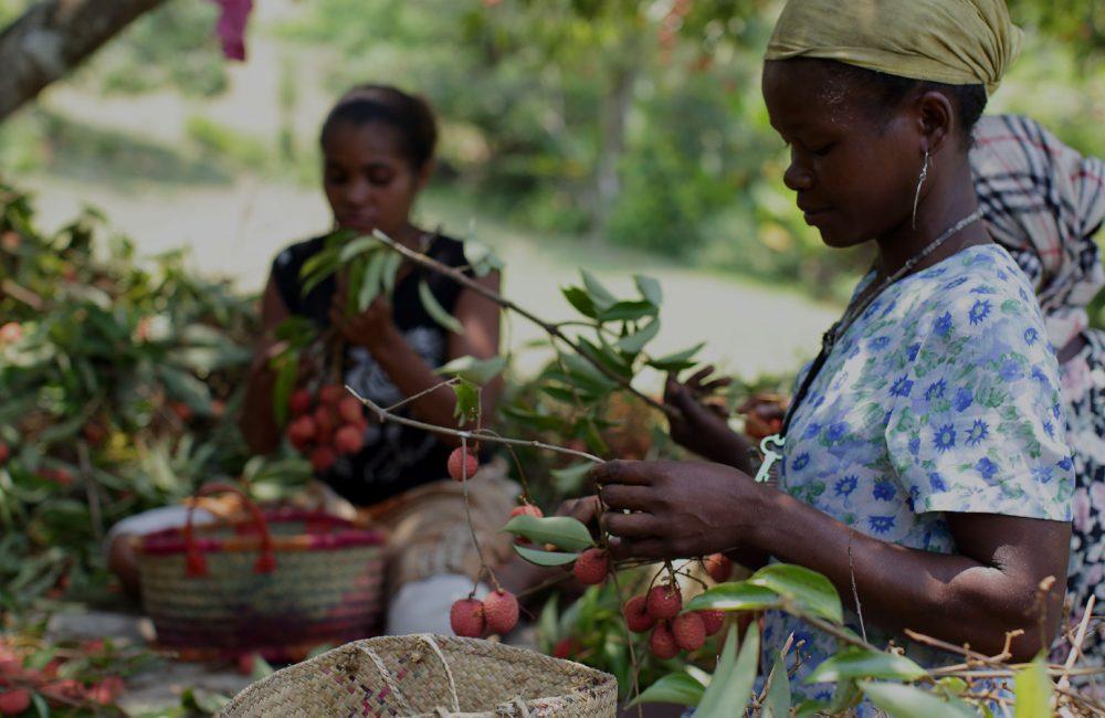 Malagasy women pick lychees